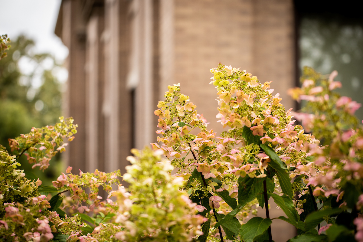 pink and white hydrangeas in the foreground. education building in the background.
